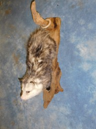 Brand new Hanging Opossum Taxidermy Mount For Sale