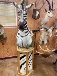 African Zebra Pedestal Floor Mount Taxidermy Mount For Sale