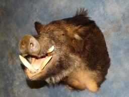 New Giant 400 lb. Razorback Wild Feral Hog Russian Boar Taxidermy Mount For Sale